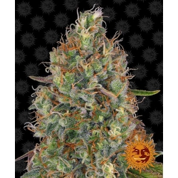 Auto Sweet Tooth | Barney's Farm
