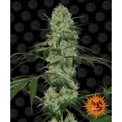 Auto Tangerine Dream | Barney's Farm
