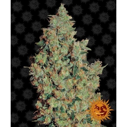 Tangerine Dream | Barney's Farm