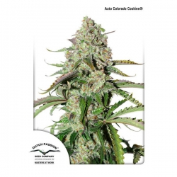 Auto Colorado Cookies Dutch Passion autoflowering seeds seedfarm.pl