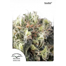 SnowBud | Dutch Passion