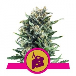 Blue Cheese | Royal Queen Seeds