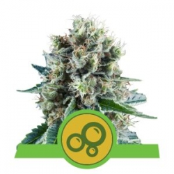 Nasiona marihuany Bubble Kush Auto od Royal Queen Seeds w seedfarm.pl