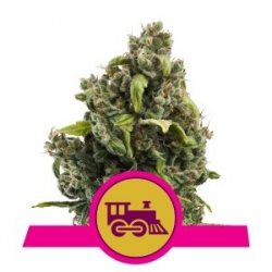 Candy Kush Express Fast | Royal Queen Seeds