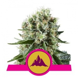 Critical Kush | Royal Queen Seeds
