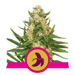 Fat Banana | Royal Queen Seeds