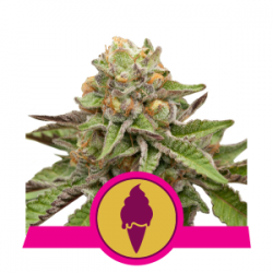 Nasiona marihuany Green Gelato od Royal Queen Seeds w seedfarm.pl