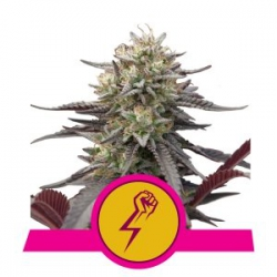 Nasiona marihuany Green Crack Punch od Royal Queen Seeds w seedfarm.pl