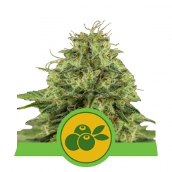 Nasiona marihuany Haze Berry Auto od Royal Queen Seeds w seedfarm.pl