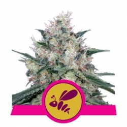 Honey Cream | Royal Queen Seeds