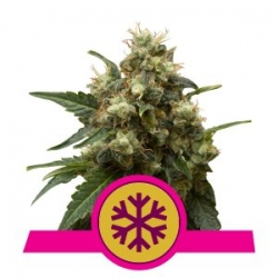 Ice | Royal Queen Seeds