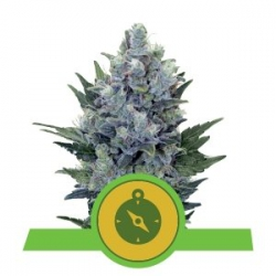 Northern Light Automatic | Royal Queen Seeds