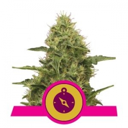 Northern Light | Royal Queen Seeds