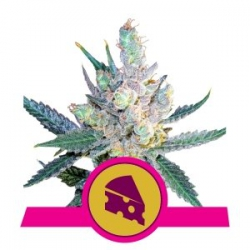 Royal Cheese Fast | Royal Queen Seeds