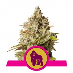 Nasiona marihuany Royal Gorilla od Royal Queen Seeds w seedfarm.pl