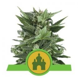 Nasiona marihuany Royal Kush Auto od Royal Queen Seeds w seedfarm.pl