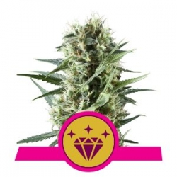 Nasiona marihuany Special Kush od Royal Queen Seeds w seedfarm.pl