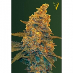 Auto Blue Dream | Victory Seeds