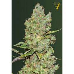 Auto Critical | Victory Seeds